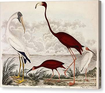 Wood Ibis, Scarlet Flamingo, White Ibis Canvas Print by Alexander Wilson