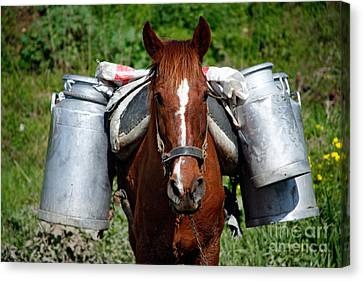 Work Horse At The Azores Canvas Print by Gaspar Avila