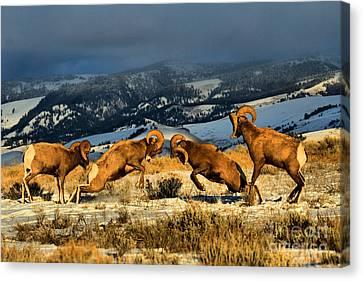 Wyoming Bighorn Brawl Canvas Print by Adam Jewell