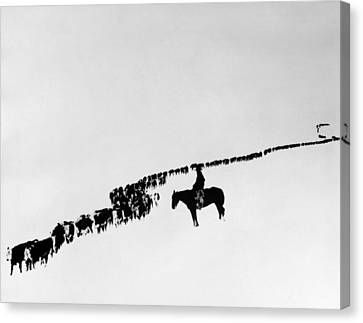 Wyoming: Cattle, C1920 Canvas Print by Granger