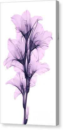X-ray Of A Gladiola Flower Canvas Print by Ted Kinsman