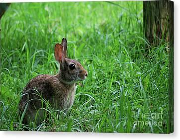 Yard Bunny Canvas Print by Randy Bodkins