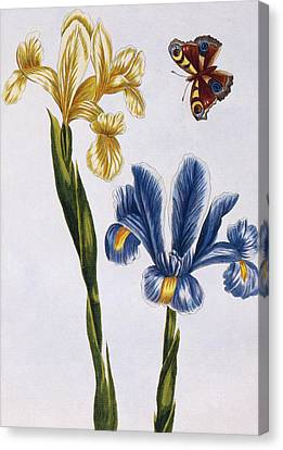 Yellow And Violet Irises Canvas Print by Pierre-Joseph Buchoz