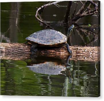 Yellow Bellied Slider Resting On A Log Canvas Print by Chris Flees