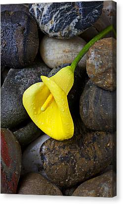 Yellow Calla Lily On Rocks Canvas Print by Garry Gay