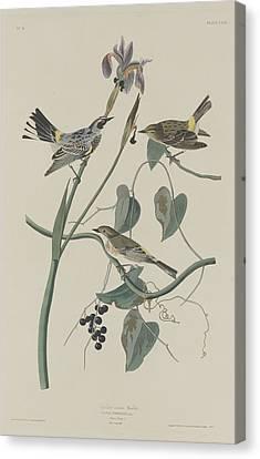 Yellow-crown Warbler Canvas Print by John James Audubon