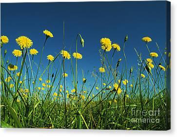 Yellow Dandelions Canvas Print by Greg Vaughn - Printscapes