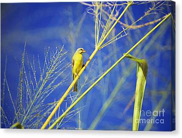 Yellow Fronted Canary Canvas Print by Bob Abraham - Printscapes