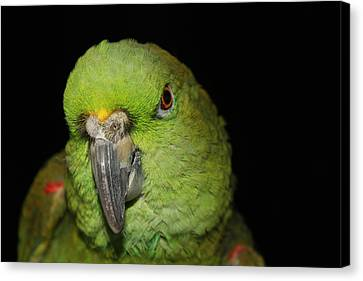 Yellow-naped Amazon Parrot Canvas Print by Alexander Butler