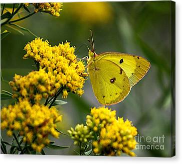Yellow On Yellow Canvas Print by Robert Pearson