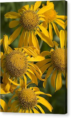 Yellow Sneezeweed, Helenium Autumnale Canvas Print by Shelley Dennis