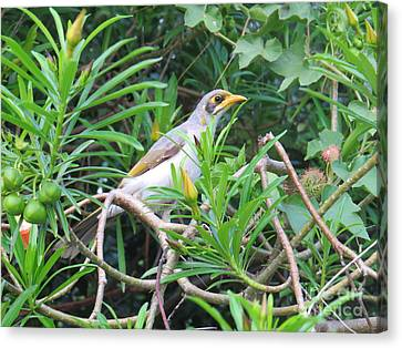 Yellow Throated Miner Canvas Print by Evie Hanlon