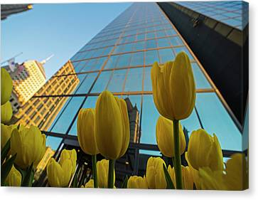 Yellow Tulips Looking Up At The Hancock Boston Ma Canvas Print by Toby McGuire