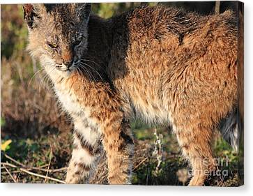 Young Bobcat 01 Canvas Print by Wingsdomain Art and Photography
