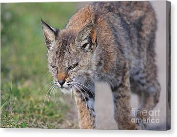 Young Bobcat 03 Canvas Print by Wingsdomain Art and Photography