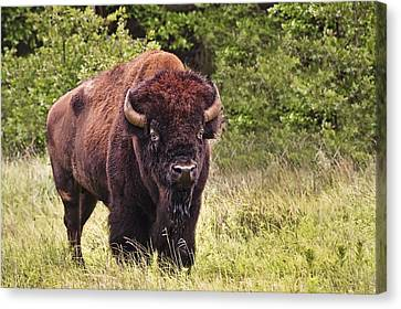 Young Buffalo Canvas Print by Tamyra Ayles