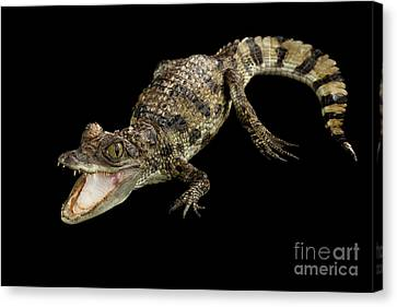 Young Cayman Crocodile, Reptile With Opened Mouth And Waved Tail Isolated On Black Background In Top Canvas Print by Sergey Taran