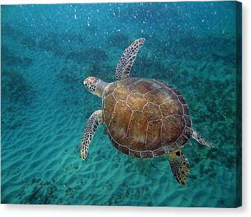 Young Green Turtle Canvas Print by Kimberly Mohlenhoff