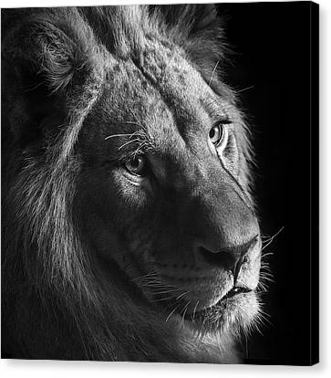 Young Lion In Black And White Canvas Print by Lukas Holas