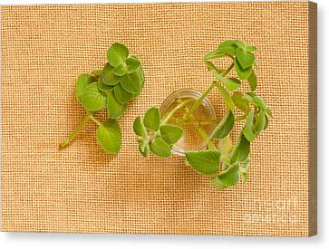 Young Mexican Mint Seedlings Canvas Print by Arletta Cwalina