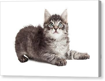 Young Tabby Kitten Laying To Side On White Canvas Print by Susan Schmitz