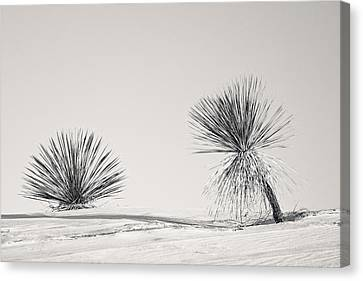 yucca in White sands Canvas Print by Ralf Kaiser