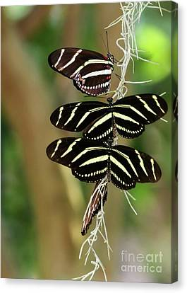 Zebra Butterflies Hanging On Canvas Print by Sabrina L Ryan