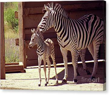 Zebra Mom And Baby Canvas Print by Methune Hively