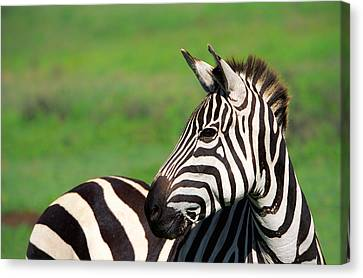 Zebra Canvas Print by Sebastian Musial