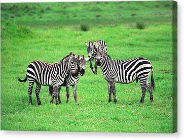 Zebras Canvas Print by Sebastian Musial