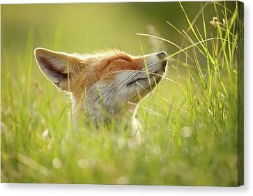 Zen Fox Series - Summer Zen Fox Canvas Print by Roeselien Raimond