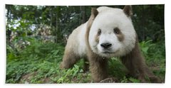 Giant Panda Brown Morph China Hand Towel by Katherine Feng