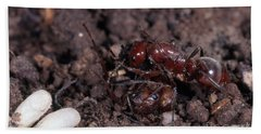 Ant Queen Fight Hand Towel by Gregory G. Dimijian, M.D.