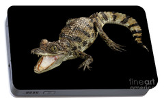 Young Cayman Crocodile, Reptile With Opened Mouth And Waved Tail Isolated On Black Background In Top Portable Battery Charger by Sergey Taran