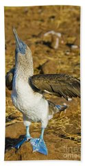 Blue-footed Booby Courtship Behavior Beach Sheet by William H. Mullins
