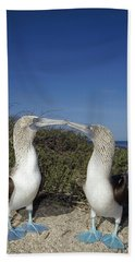 Blue-footed Boobies Courting Galapagos Beach Sheet by Tui De Roy