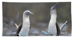 Blue-footed Booby Courtship Dance Beach Sheet by Tui De Roy