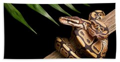Ball Python Python Regius On Branch Beach Towel by David Kenny