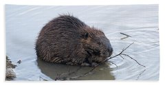 Beaver Chewing On Twig Beach Sheet by Chris Flees