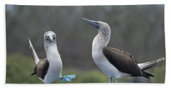 Blue-footed Booby Courtship Dance Beach Towel by Tui De Roy
