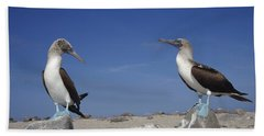 Blue-footed Booby Pair Galapagos Islands Beach Sheet by Tui De Roy