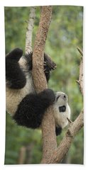Giant Panda Cub In Tree Chengdu Sichuan Beach Sheet by Katherine Feng
