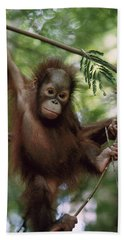 Orangutan Infant Hanging Borneo Beach Sheet by Konrad Wothe