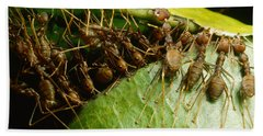Weaver Ant Group Binding Leaves Beach Towel by Mark Moffett