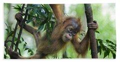 Sumatran Orangutan Baby  Beach Sheet by Suzi Eszterhas