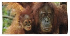 Sumatran Orangutan Pongo Abelii Mother Beach Towel by Thomas Marent