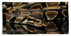 Ball Or Royal Python Snake On Isolated Black Background Beach Towel by Sergey Taran