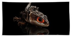 Closeup Red-eyed Crocodile Skink, Tribolonotus Gracilis, Isolated On Black Background Beach Towel by Sergey Taran
