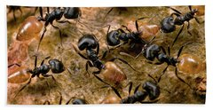Ant Crematogaster Sp Group Beach Towel by Mark Moffett