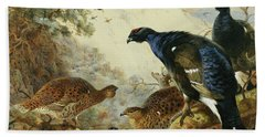 Blackgame Or Black Grouse Beach Towel by Archibald Thorburn